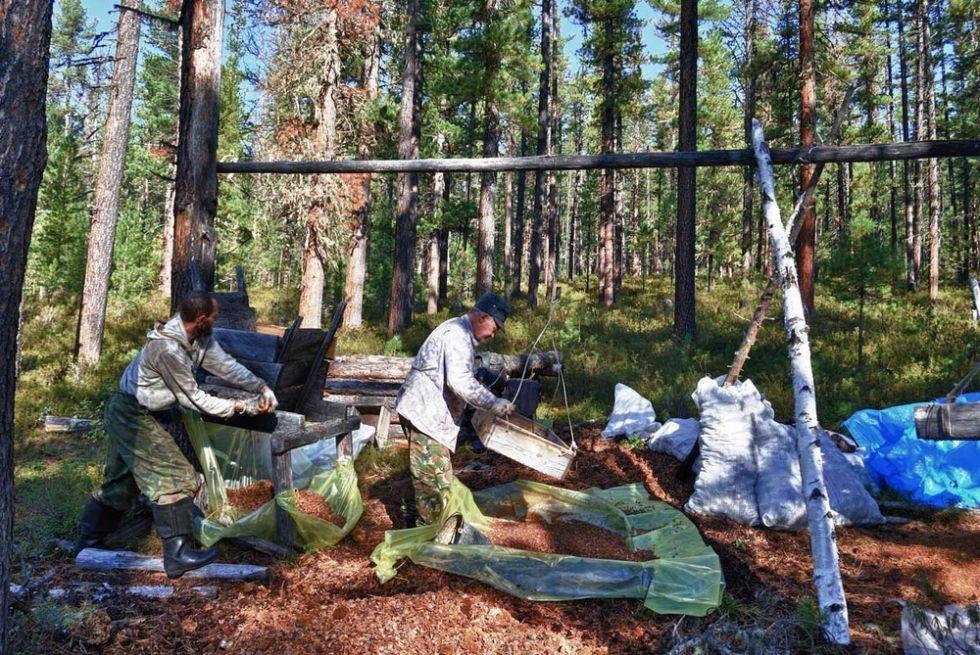 На промысле кедрового ореха в сибирской тайге