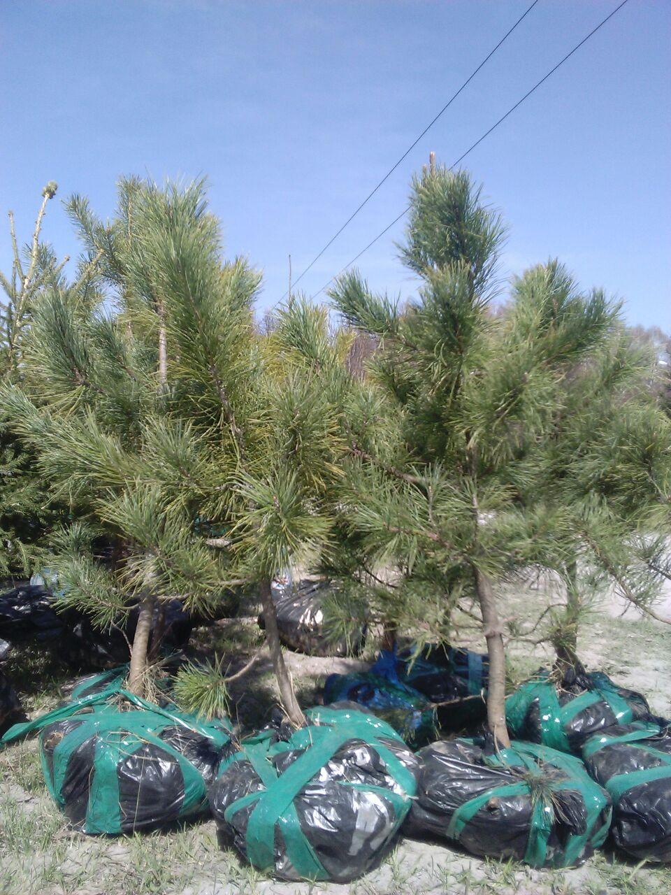 Технология выращивания деревьев 85